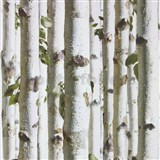 Vinylové tapety Bluff kmene brezy