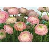 Fototapeta Gentle Rosé, rozmer 368 x 254 cm