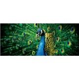 Vliesové fototapety páv, rozmer 250 x 104 cm