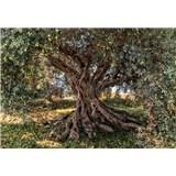 Fototapety Olivový strom, rozmer 368 x 254 cm