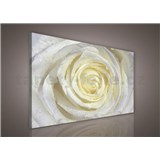 Obraz na stenu biela ruža 100 x 75 cm