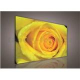 Obraz na stenu žltá ruža 75 x 100 cm