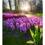 Vliesové fototapety hyacinty rozmer 225 cm x 250 cm