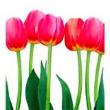 Vliesové fototapety tulipány rozmer 225 cm x 250 cm