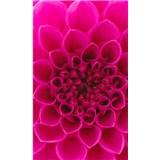 Vliesové fototapety ružové dahli rozmer 150 cm x 250 cm