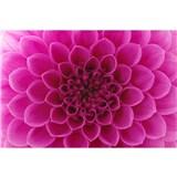 Vliesové fototapety ružové dahli rozmer 375 cm x 250 cm