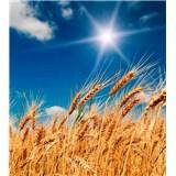 Vliesové fototapety pšeničné polia rozmer 225 cm x 250 cm