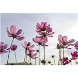 Vliesové fototapety kosmos kvety rozmer 375 cm x 250 cm