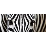 Vliesové fototapety zebra rozmer 375 cm x 150 cm