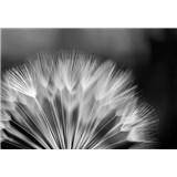 Fototapety púpavka čierno-biela, rozmer 368 cm x 254 cm