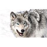 Vliesové fototapety vlk s modrými očami, rozmer 104 cm x 70,5 cm