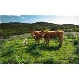 Vliesové fototapety Hefele kravy na pastvine, rozmer 450 cm x 280 cm