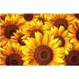 Vliesové fototapety kvety slnečníc rozmer 375 cm x 250 cm