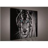 Obraz na plátne tiger tyrkysové oči 90 x 80 cm