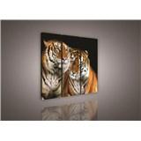 Obraz na plátne tigre 90 x 80 cm