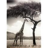 Fototapety žirafa rozmer 184 x 254 cm