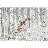 Fototapety brezový les rozmer 368 x 254 cm