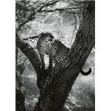 Fototapety leopard na strome rozmer 184 x 254 cm