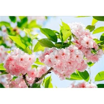 Fototapety Sakura Blossom, rozmer 366 x 254 cm