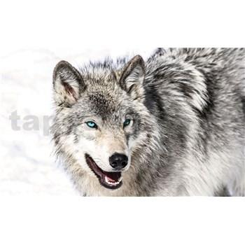 Vliesové fototapety vlk s modrými očami rozmer 312 cm x 219 cm