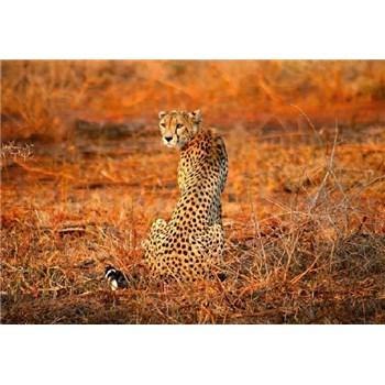 Fototapety leopard rozmer 368 x 254 cm