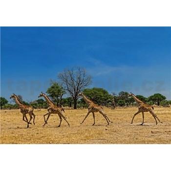 Vliesové fototapety bežiace žirafy rozmer 368 x 254 cm