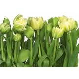 Fototapeta tulipány