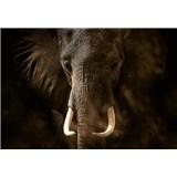 Fototapety slon rozmer 368 x 254 cm
