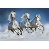 Fototapety Arabian Horses 366 x 254 cm