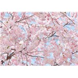 Fototapety rozkvitnutá čerešňa Pink Blossoms, rozmer 366 x 254 cm