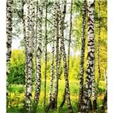 Vliesové fototapety brezový les rozmer 225 cm x 250 cm