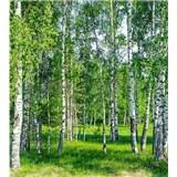 Vliesové fototapety brezy rozmer 225 cm x 250 cm