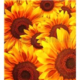 Vliesové fototapety kvety slnečnic rozmer 225 cm x 250 cm