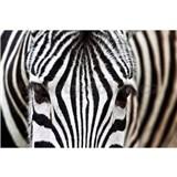Vliesové fototapety zebra rozmer 375 cm x 250 cm