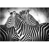 Vliesové fototapety zebry rozmer 368 cm x 254 cm