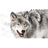 Vliesové fototapety vlk s modrými očami, rozmer 416 cm x 254 cm