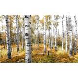 Vliesové fototapety Hefele brezový les, rozmer 450 cm x 280 cm