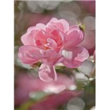 Fototapeta ružové okvetia, rozmer 184 x 254 cm