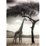 Vliesové fototapety žirafa rozmer 184 x 254 cm