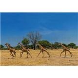 Fototapety bežiace žirafy rozmer 368 x 254 cm