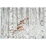 Vliesové fototapety brezový les rozmer 368 cm x 254 cm