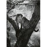 Vliesové fototapety leopard na strome rozmer 184 x 254 cm
