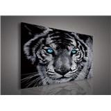 Obraz na stenu tiger tyrkysové oči 75 x 100 cm