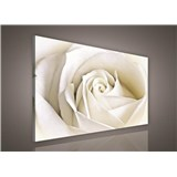 Obraz na stenu biela ruže 75 x 100 cm